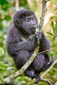 Ob Jungtiere, Silberrücken oder Weibchen: Die Berggorillas lassen sich von der Anwesenheit der Menschen kaum stören. Foto: djd/Abendsonne Afrika/Jürgen Ritterbach