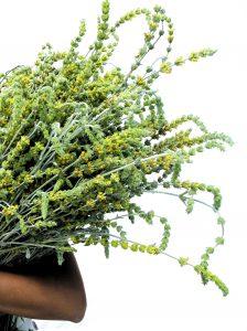 Bis zum Hochsommer entwickeln sich die bis zu 40 Zentimeter langen Blütenstände des Bergtees. Foto: djd/Rühlemann's Kräuter und Duftpflanzen
