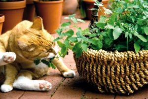Neben dem Zwerg-Zyperngras sind Katzenminze, Katzengamander und Baldrian beliebte Knabberpflanzen für Katzen. Foto: djd/Rühlemann's Kräuter und Duftpflanzen